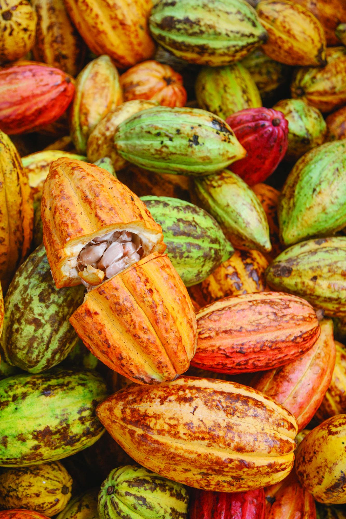 chiang mai coco northern thailand s hidden chocolate farms rh chiangmaicitylife com